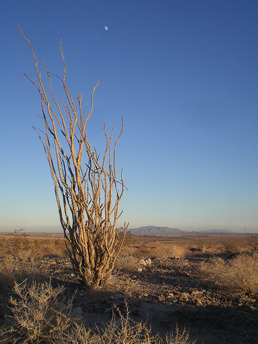 Ocotillo cactus at twilight in the desert near Ocotillo, Calif. Photo by  &lt;a href='http://www.flickr.com/photos/ginsnob/' target='blank'&gt;Chris Palmer&lt;/a&gt;.